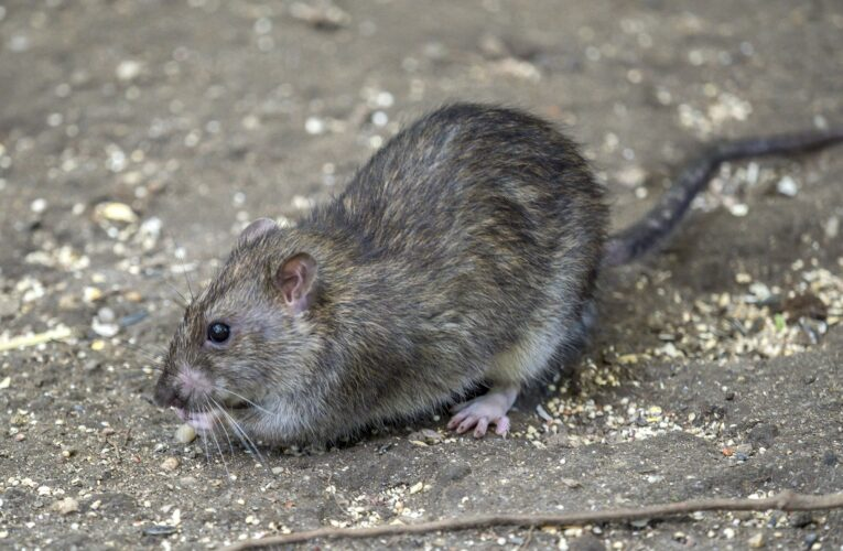Newly discovered cells in mice can sense four of the five tastes