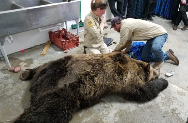 Gianforte lobbies Interior to delist Northern Continental Divide grizzlies